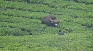 Indian Gaur, Valparai