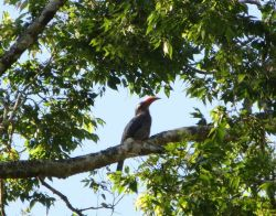Malabar Grey Hornbill, Thekkady