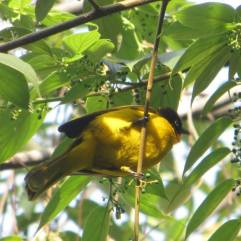 Black-Hooded Oriole, Kodaikanal