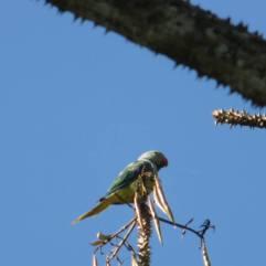 Malabar Parakeet, Thekkady