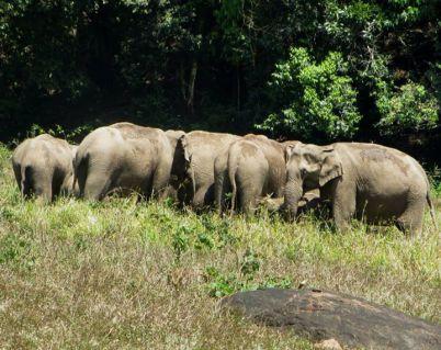 Indian Elephants, Thekkady
