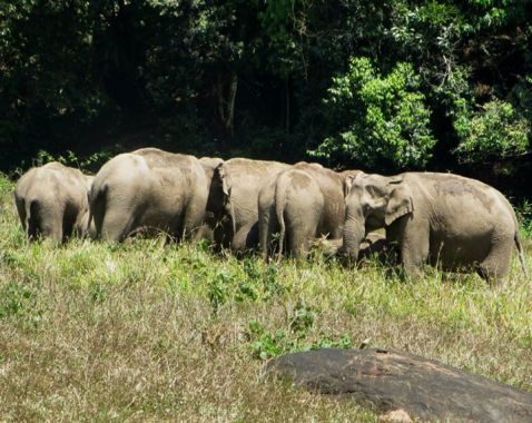 Indian Elephants, Thekkady