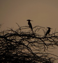 Common Hoopoes