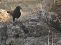 Greater Coucal, Vedanthangal