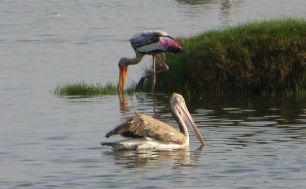 Painted Stork and Grey Pelican