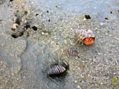 Crab in a shell, Kanchipuram