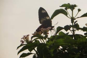 Common Rose, Pulicat