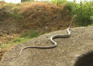Bronzeback Snake, Vedanthangal