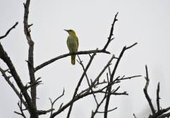 Golden Oriole (Female), ECR