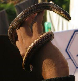 Narrow-headed Snake
