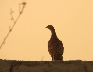Grey Francolin, Vedanthangal