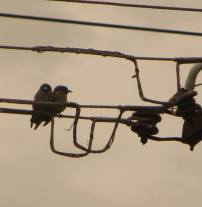 Ashy Wood Swallows, Pulicat