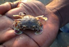 Crab, Alamparai Fort