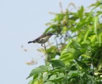 Purple-Rumped Sunbird - female, Chennai