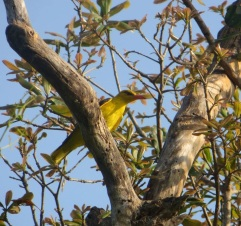 Golden Oriole, Vedanthangal
