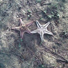 Starfishes, Alamparai Fort