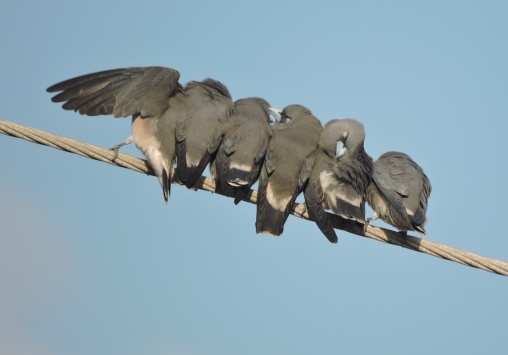 Ashy Woodswallows, Chennai