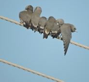 Ashy Woodswallows, Chennai