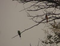 Green Bee Eater and Asian Paradise Flytcatcher
