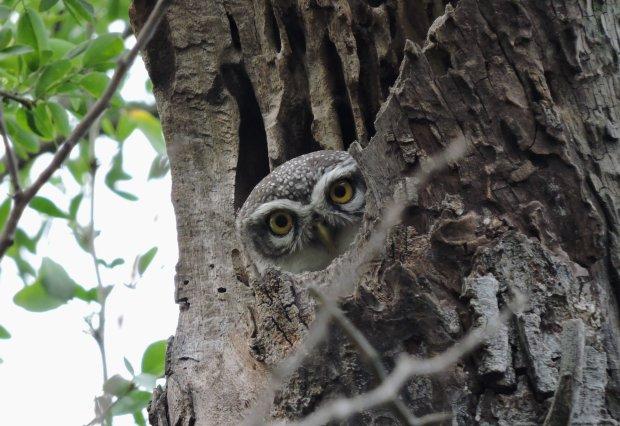 Spotted Owlet - juveline