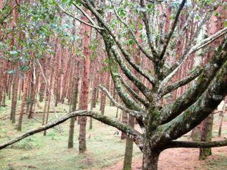 Peacock Tree, Kodaikanal