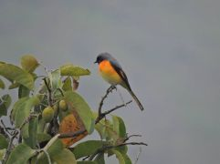 Small Minivet (male), Vattakanal