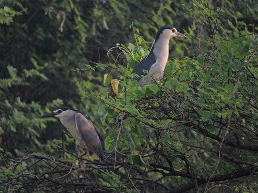 Black-Crowned Midnight Herons, Vedanthangal