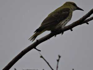 Golden Oriole (female), Vedanthangal