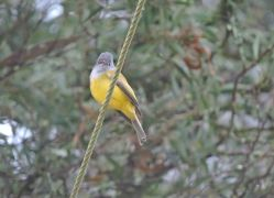 Grey-Headed Canary Flycatcher, Vattakanal