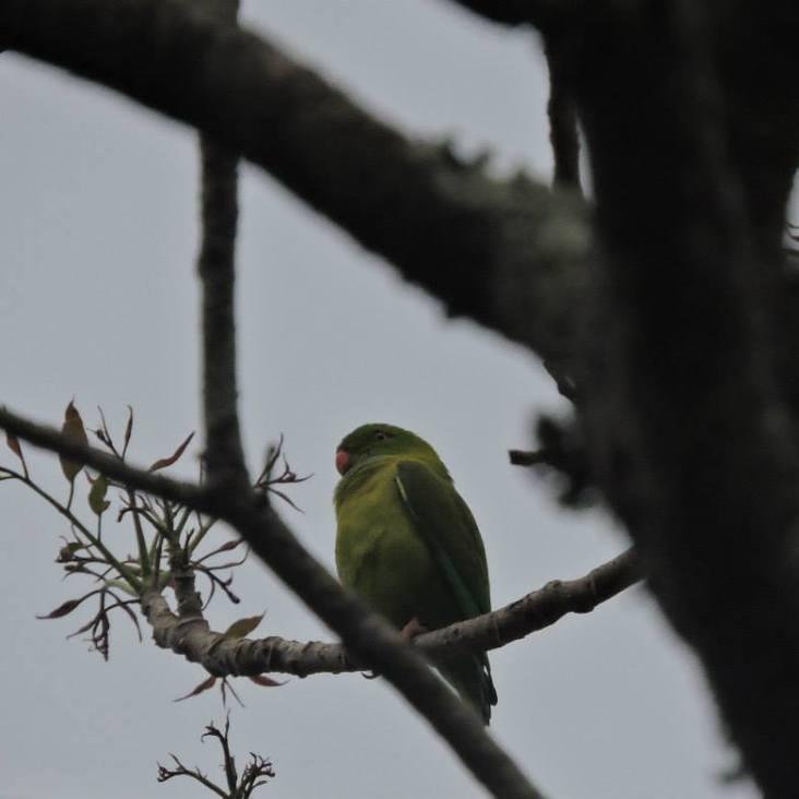 Vernal Hanging Parrot, Upper Palani