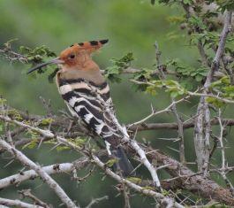 Common Hoopoe,Kodaikanal