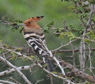 Common Hoopoe,Kodaikanal