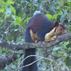 Malabar Giant Squirrel, Vattakanal