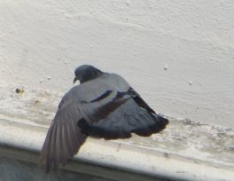 Blue Rock Pigeon, Guindy
