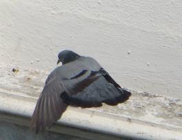 Blue Rock Pigeon, Guindy