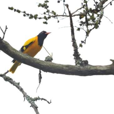 Black-Hooded Oriole, Anjaveedu