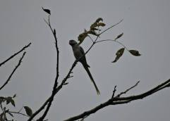 Blue Winged Parakeet, Upper Palani