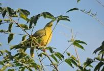 Pompadour Green Pigeon, Kumily