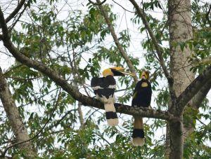 Great Indian Hornbills, Valparai