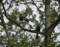 Great Hornbills