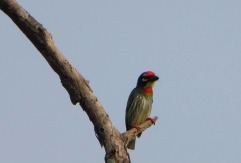 Coppersmith Barbet, Vedanthangal
