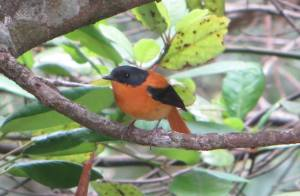 Black-and-Orange Flycatcher, Vattakanal