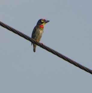 Coppersmith Barbet, Mount Road