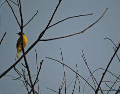 Black-Hooded Oriole, Kodaikanal