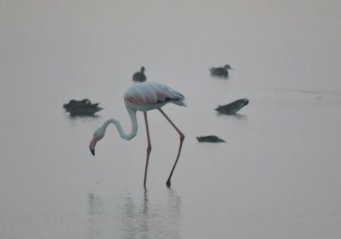 Greater Flamingo, Pulicat Lake