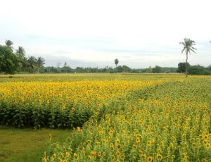 Sunflower field, Yercaud
