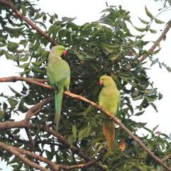 Rose-Ringed Parakeets, Chennai