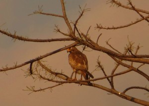 White-Eyed Buzzard, Ponneri