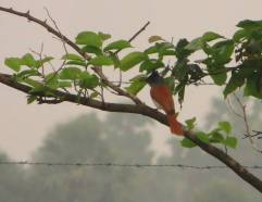 Asian Paradise Flycatcher, Vedanthangal