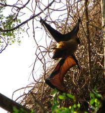 Fruit Bat, Theosophical Society - Adyar